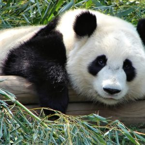 Atlanta Zoo Panda by Rob Flickr CC 2.0Wikimedia Commons