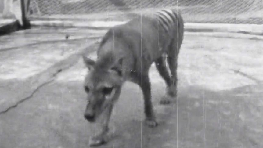 Tasmanian tiger, who