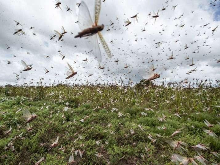 Locust, Air India