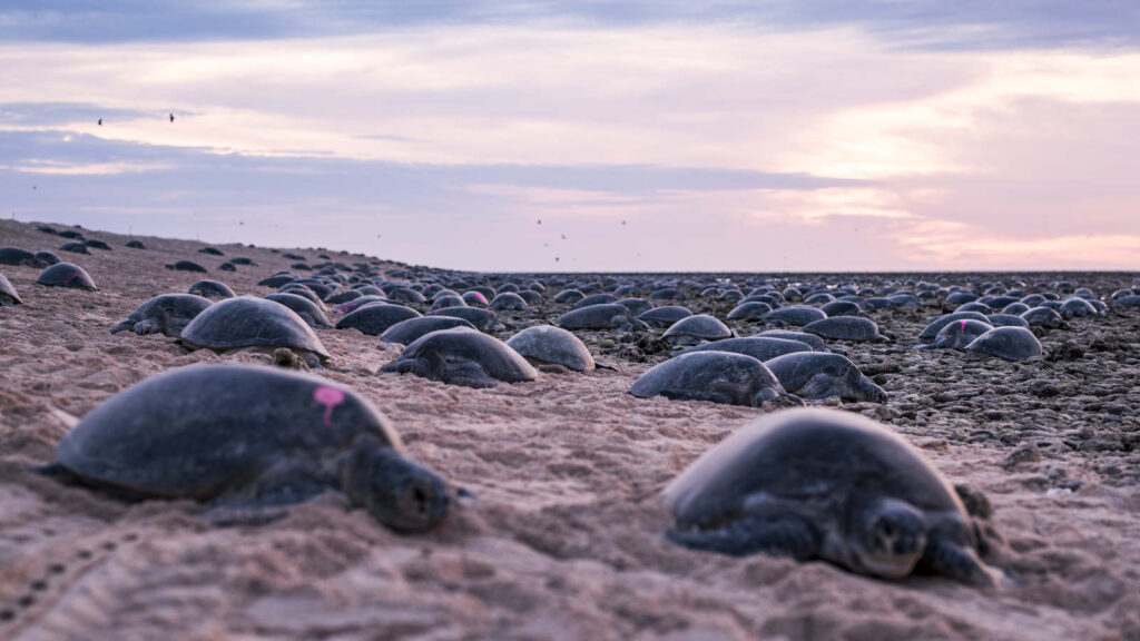 world's largest sea turtle colony, Mizoram