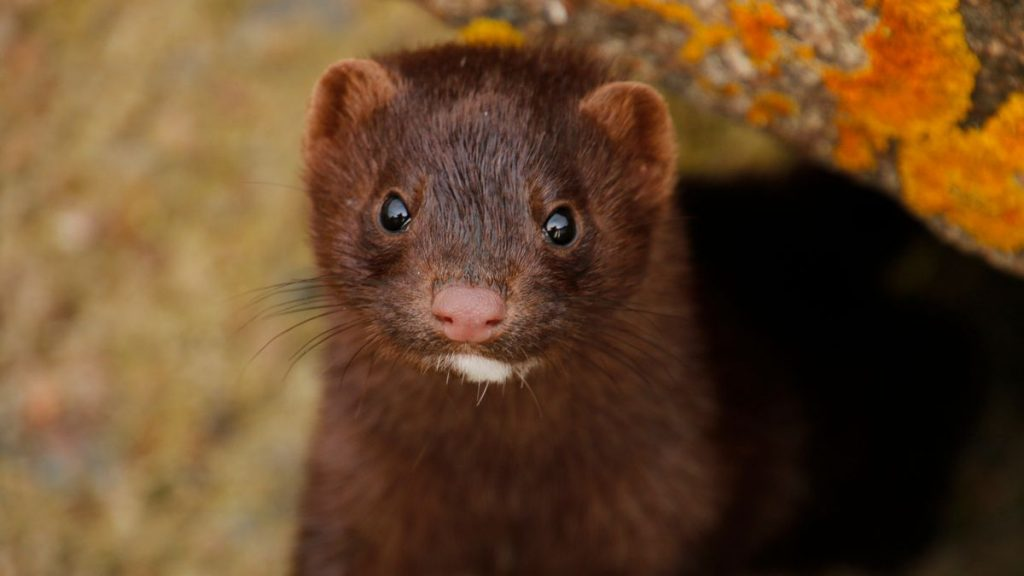 Mink slaughter, Spain, Uttar Pradesh