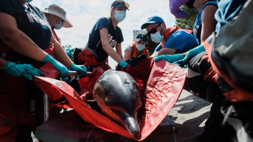 Dolphins rescue